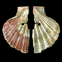 A decorative shell ornament attributed to Neanderthals.