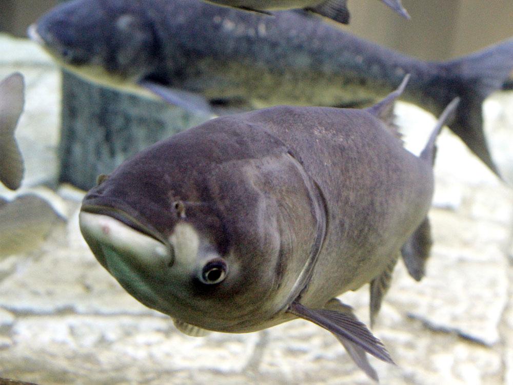 In a 2006 file photo, a bighead carp, swims in an exhibit at Chicago's Shedd Aquarium.