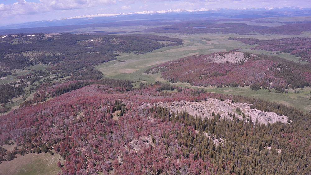 Photo by W. W. MacFarlane - Pine bark beetle damage in Teton National Forest