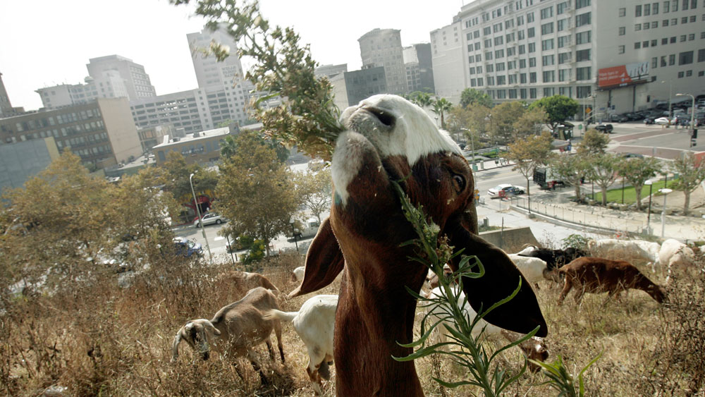 Weed-Whacking Goats