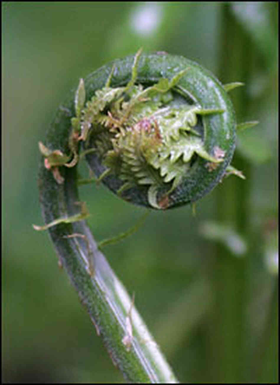 Fiddlehead: This Fern Is For Eating : NPR