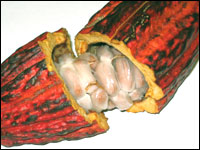 Fresh Cacao Pod