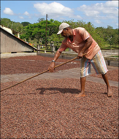 A worker on Tavares' farm rakes cocoa beans drying in the sun.