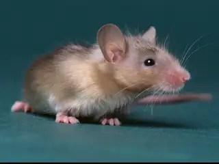 Bloed van jonge soortgenoot verjongt hersenen oude muis