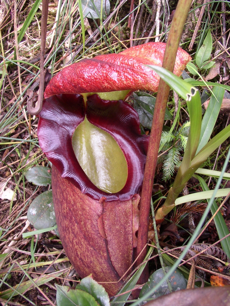 Nepenthes  planter et entretenir  Ooreka