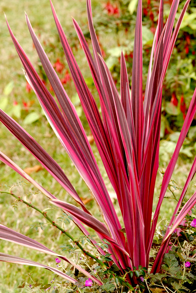Cordyline  planter et cultiver  Ooreka