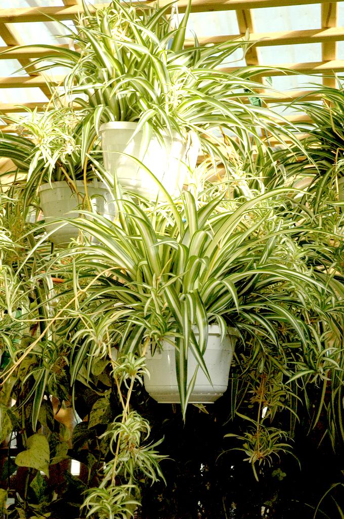 Chlorophytum  planter et cultiver  Ooreka