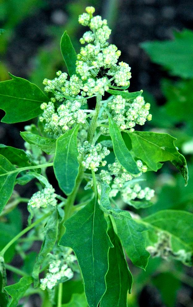 Chnopode  planter et cultiver  Ooreka