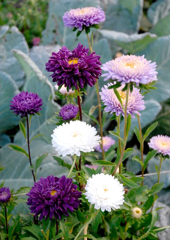Reine Marguerite Planter Et Cultiver – Ooreka
