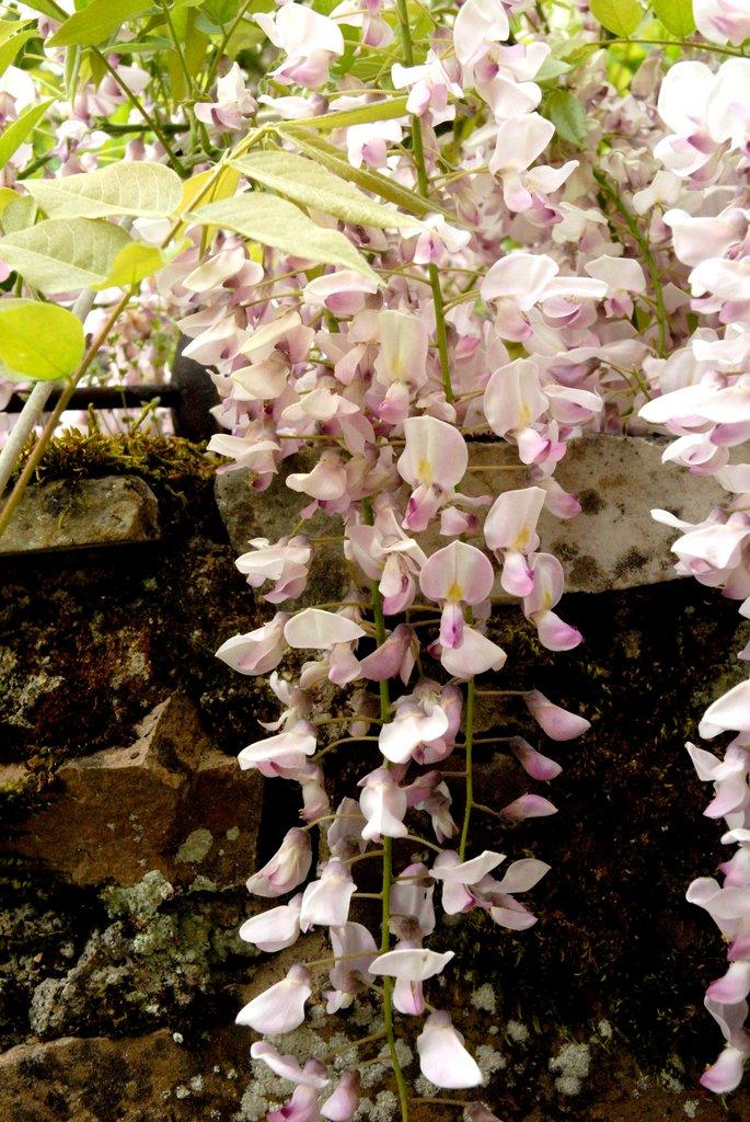 Glycine  planter et tailler  Ooreka