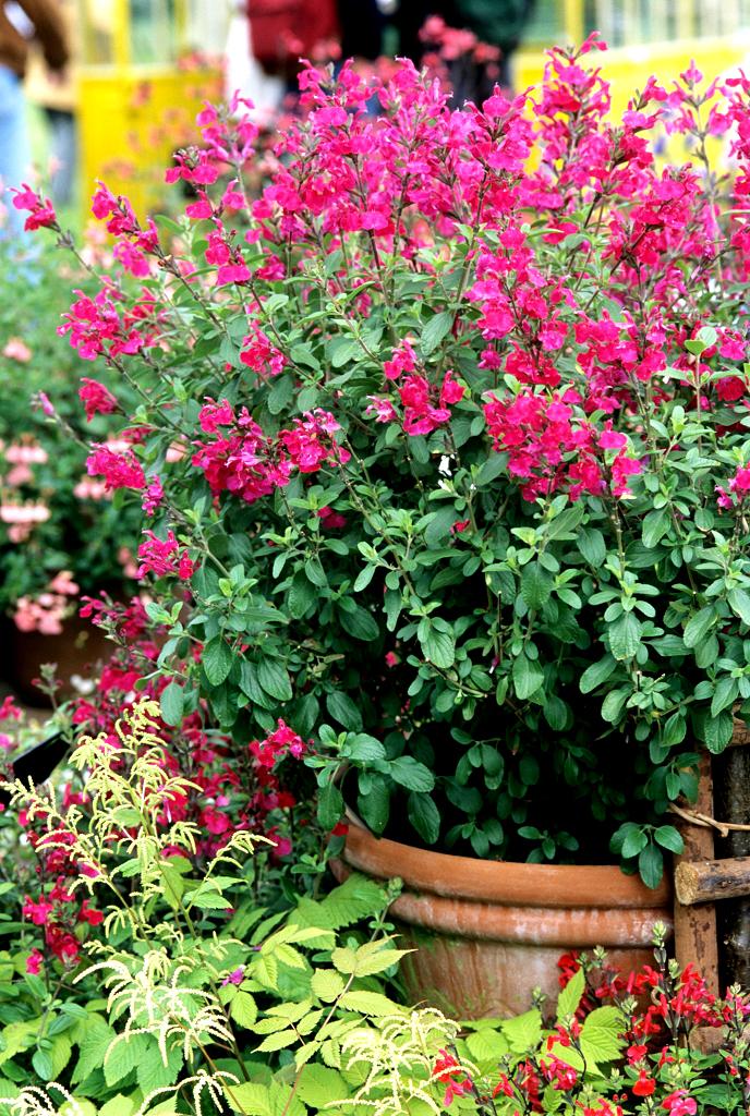 Comment Tailler La Sauge Arbustive : comment, tailler, sauge, arbustive, Sauge, Ornementale, Planter, Cultiver, Ooreka