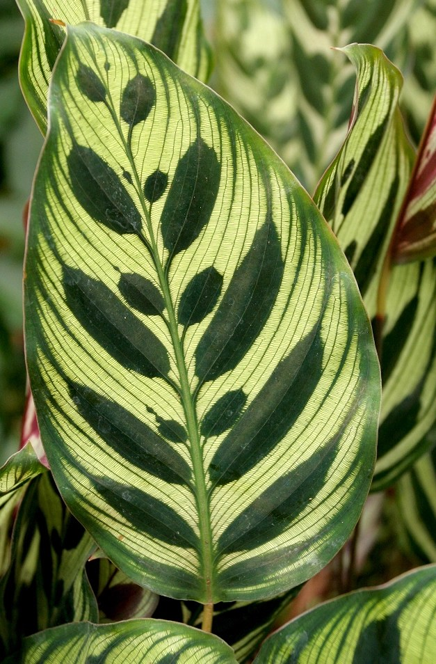 Calathea  planter et cultiver  Ooreka