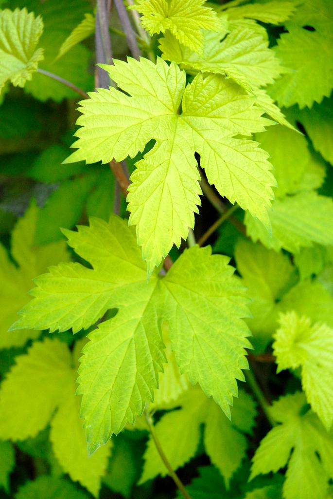 Houblon Planter Et Cultiver – Ooreka