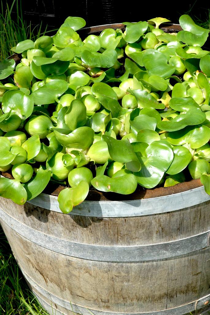 Jacinthe deau  planter et cultiver  Ooreka