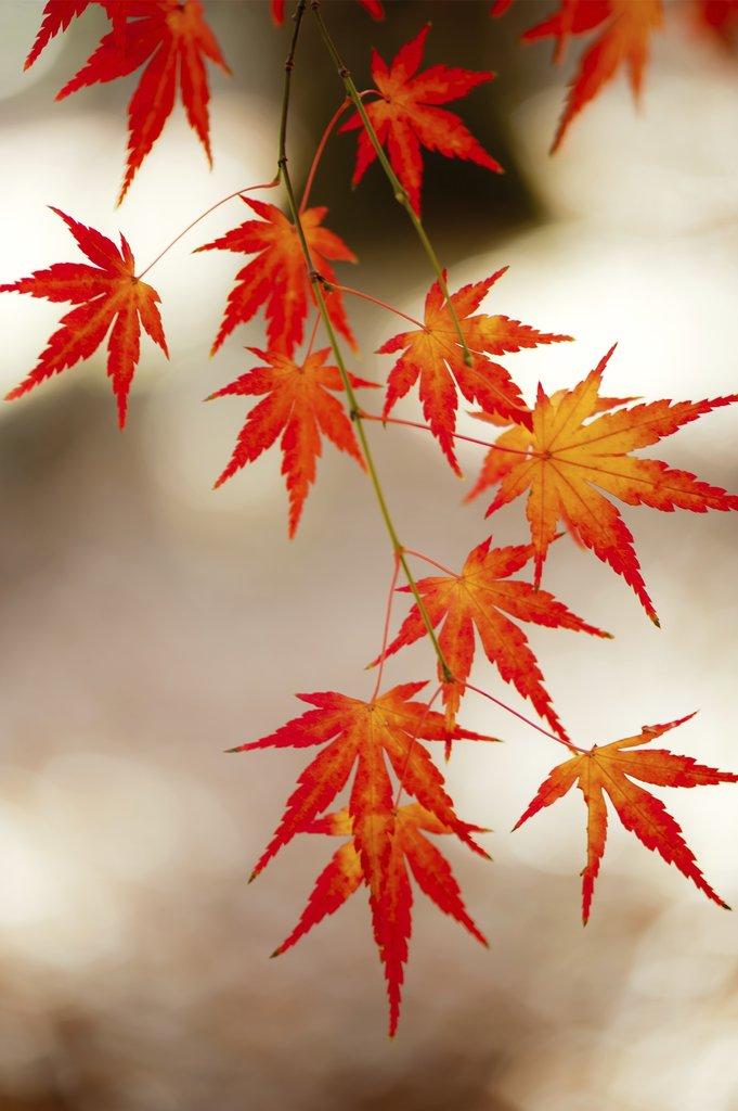 rable du Japon  planter et tailler  Ooreka