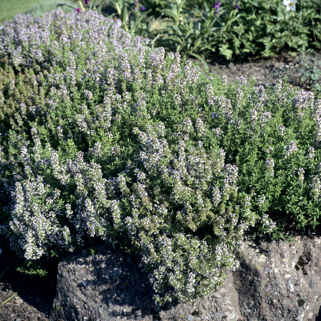Thym  planter et tailler  Ooreka