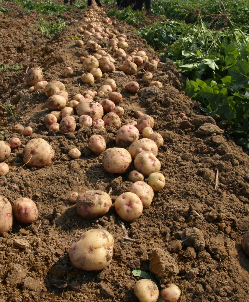 Quand Recolter Les Patates : quand, recolter, patates, Pomme, Terre, Semer, Planter, Ooreka