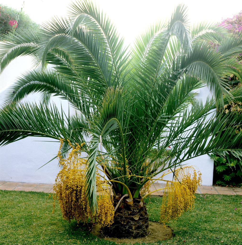 Phoenix  planter et cultiver  Ooreka
