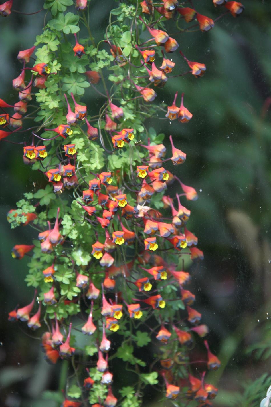 Capucine  semer et planter  Ooreka