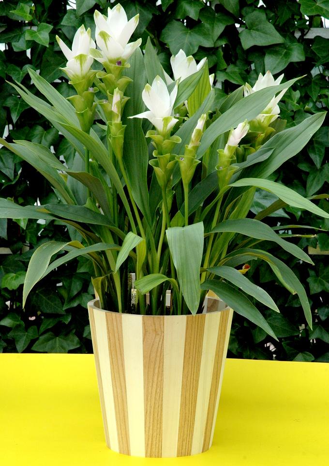Curcuma  planter et cultiver  Ooreka