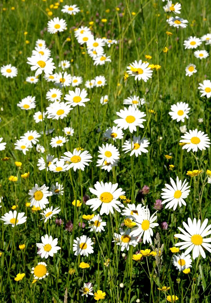 Marguerite  planter et cultiver  Ooreka