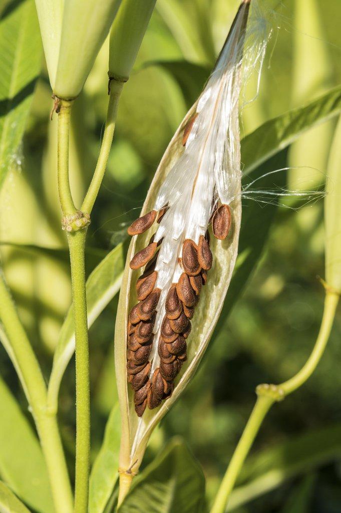 Asclépiade Planter Et Cultiver – Ooreka