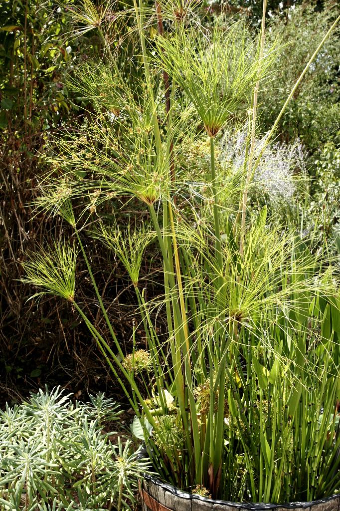 Papyrus  planter et bouturer  Ooreka