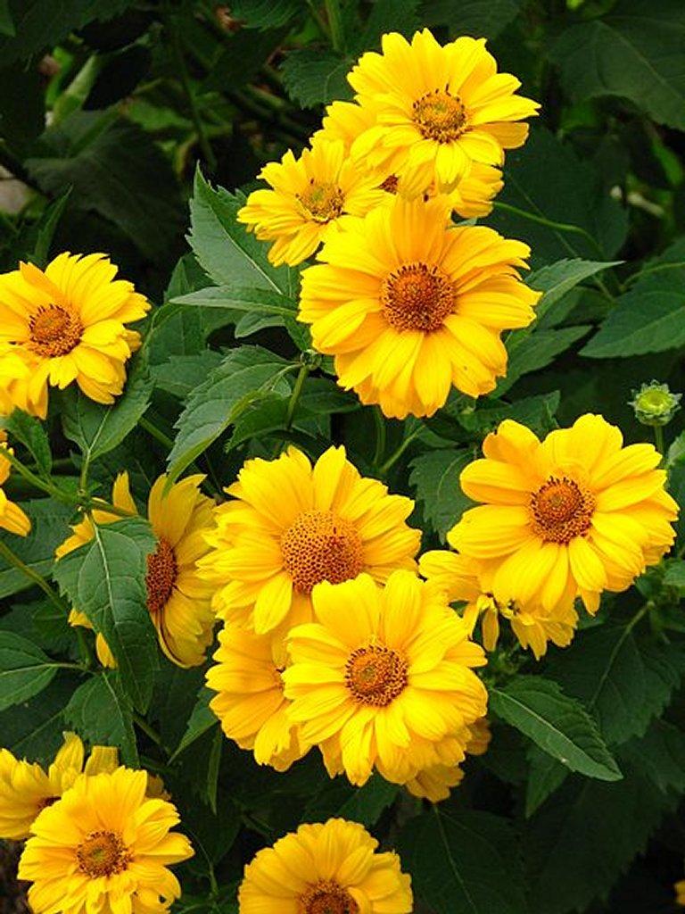 Heliopsis Planter Et Cultiver – Ooreka
