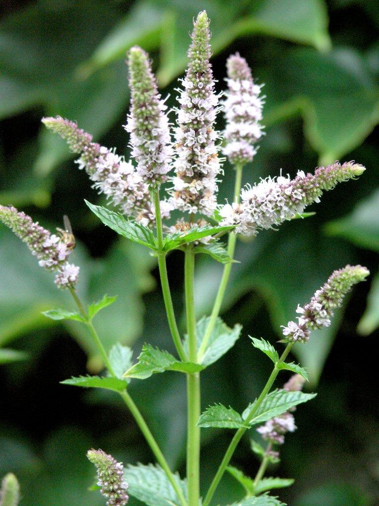 Menthe  planter et cultiver  Ooreka