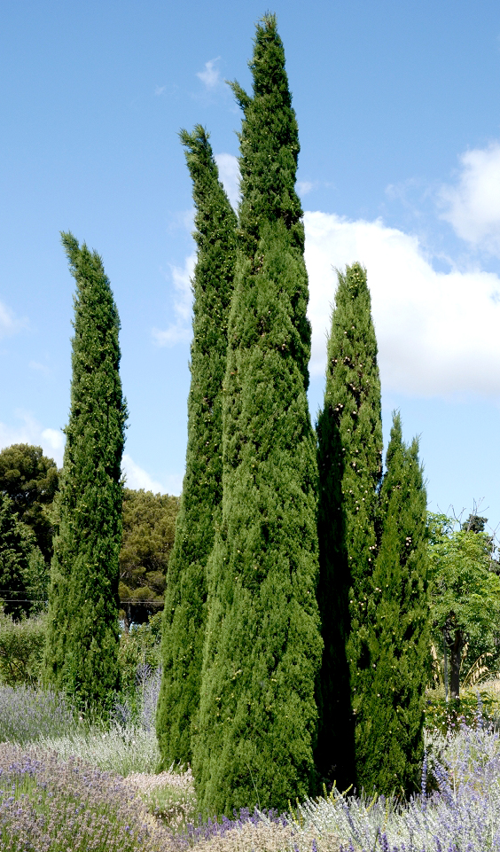 Cyprs  planter et tailler  Ooreka