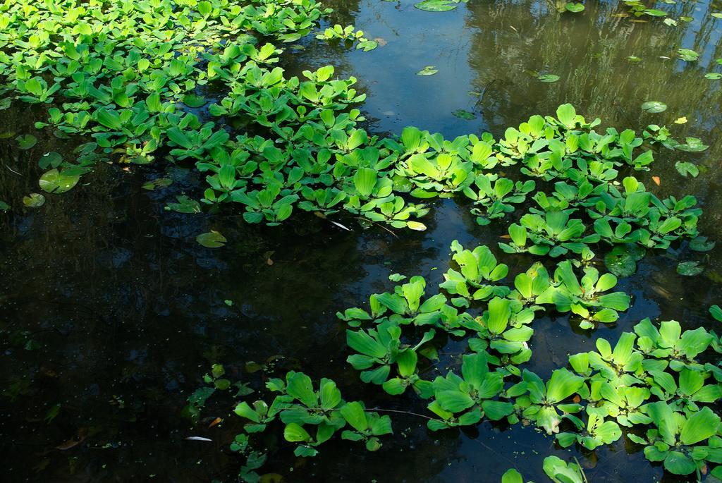 Laitue deau  planter et cultiver  Ooreka
