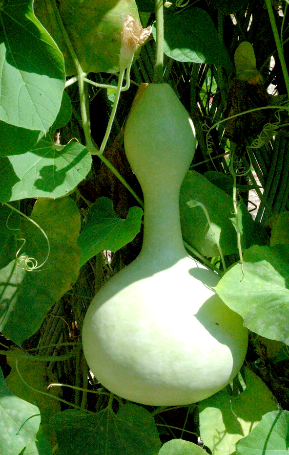 Calebasse Planter Et Cultiver – Ooreka
