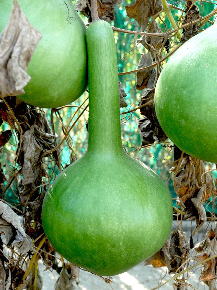 Calebasse  planter et cultiver  Ooreka
