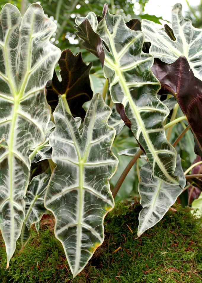 Alocasia  planter et cultiver  Ooreka