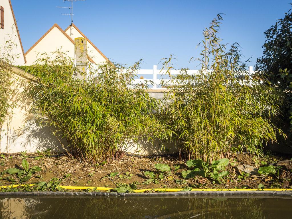 Bambou fargesia  planter et bouturer  Ooreka