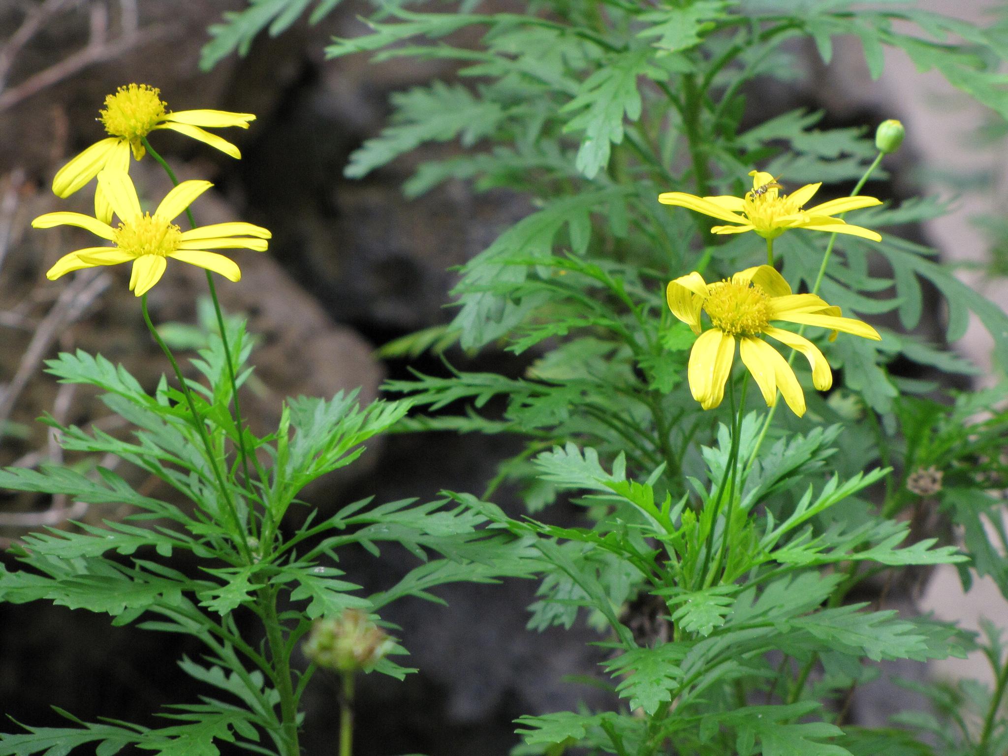 Euryops  planter et cultiver  Ooreka