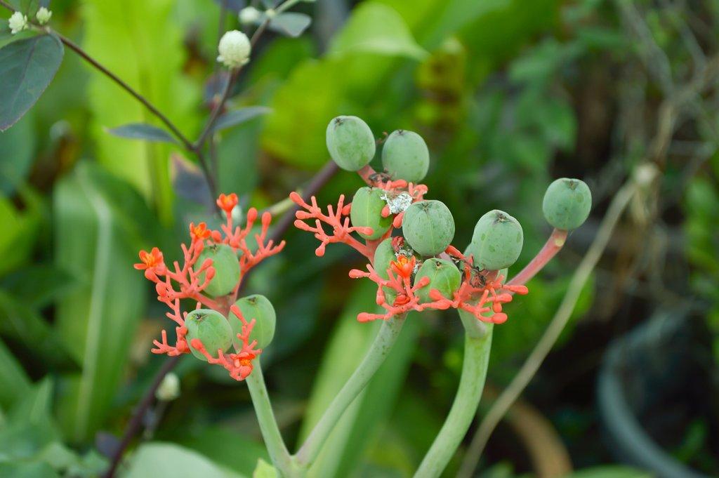 Jatropha  planter et cultiver  Ooreka