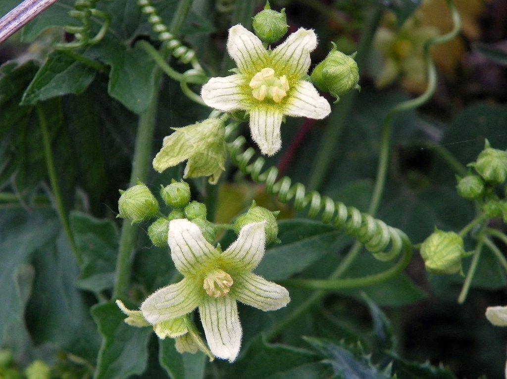 Bryone  planter et cultiver  Ooreka