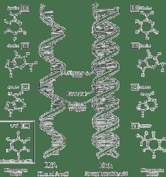 nitrogeneou base dna diagram [ 1106 x 1093 Pixel ]