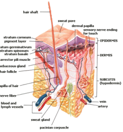 figure 2 structure of the skin the structures of the epidermis dermis and the subcutaneous tissue called the subcutis in this diagram  [ 1083 x 1077 Pixel ]