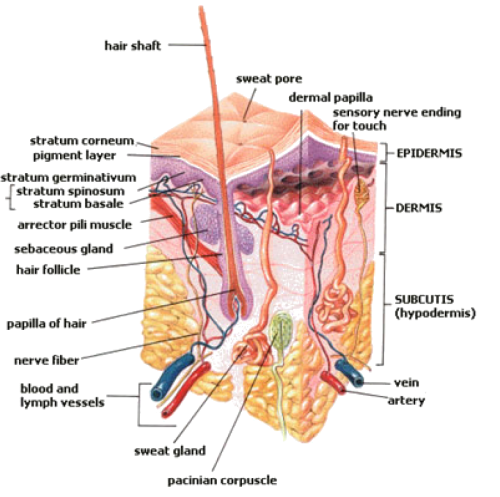 small resolution of figure 2 structure of the skin the structures of the epidermis dermis and the subcutaneous tissue called the subcutis in this diagram