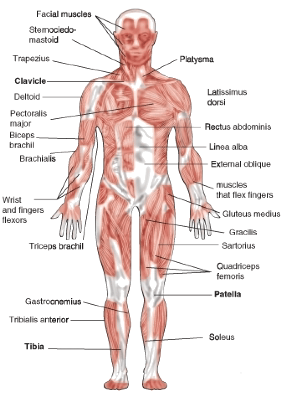 skeletal and muscular system diagram bacteria structure body picture