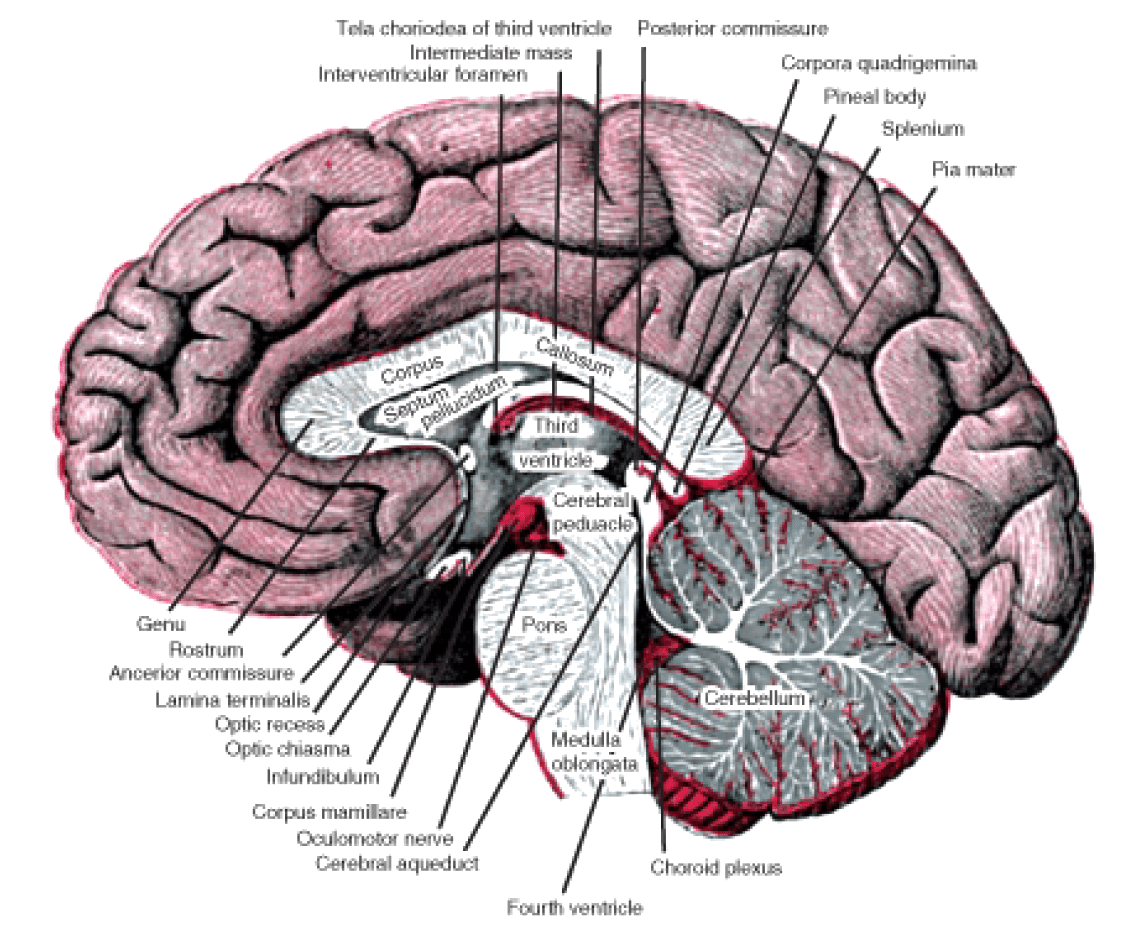 brain diagram pons cat 5 wiring rca wall jack the nervous system  opencurriculum