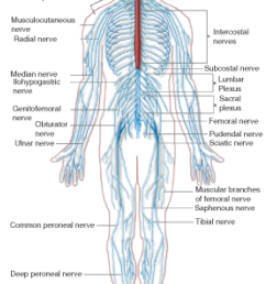 figure 17 the peripheral nervous system pns the peripheral nervous system extends from the cns and reaches out to all parts of the body  [ 772 x 1232 Pixel ]