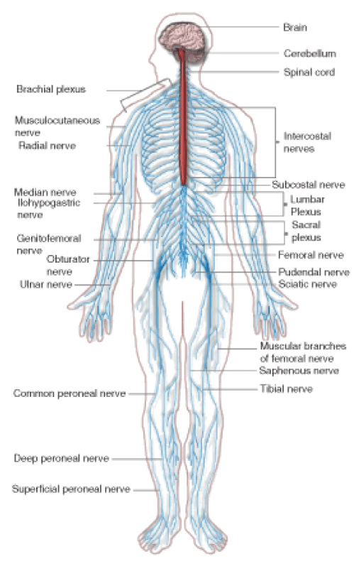 small resolution of figure 17 the peripheral nervous system pns the peripheral nervous system extends from the cns and reaches out to all parts of the body