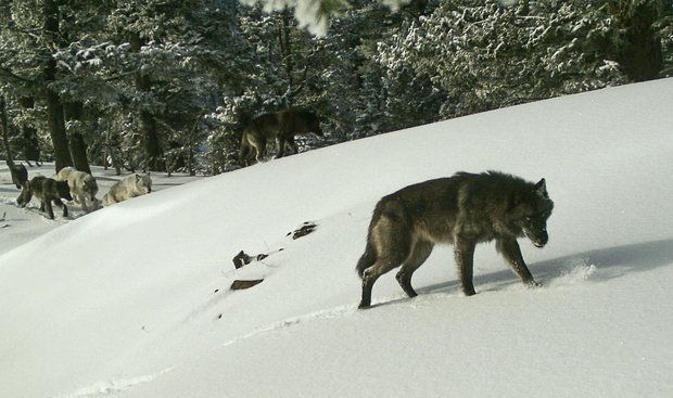 A wolf pack is pictured earlier this year on a remote camera in Hells Canyon National Recreation Area.