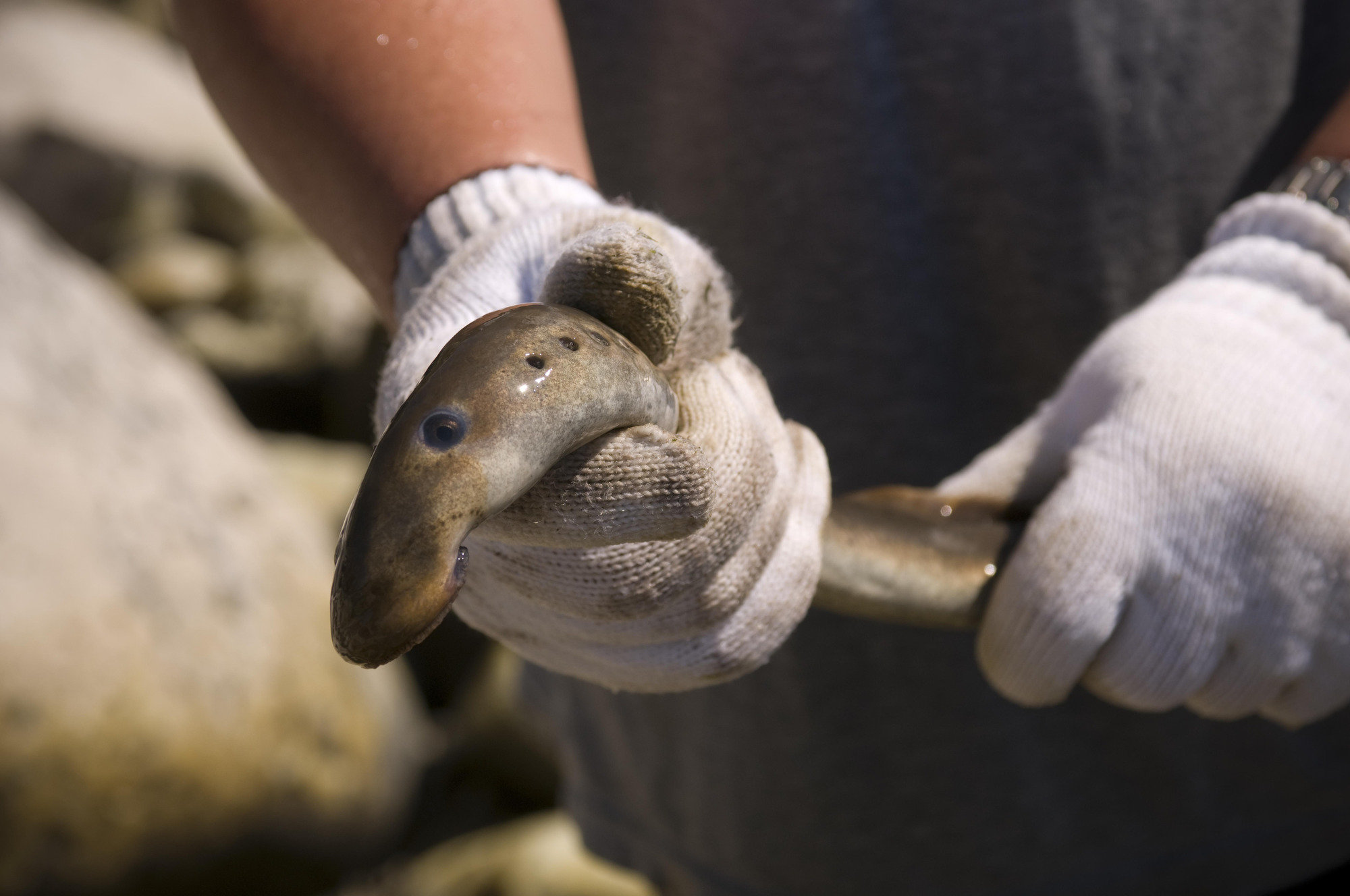 Lampreys Attack Humans List Of Synonyms And Antonyms Of The Word