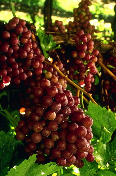Vern Nelson Three Great Table Grapes To Grow In The