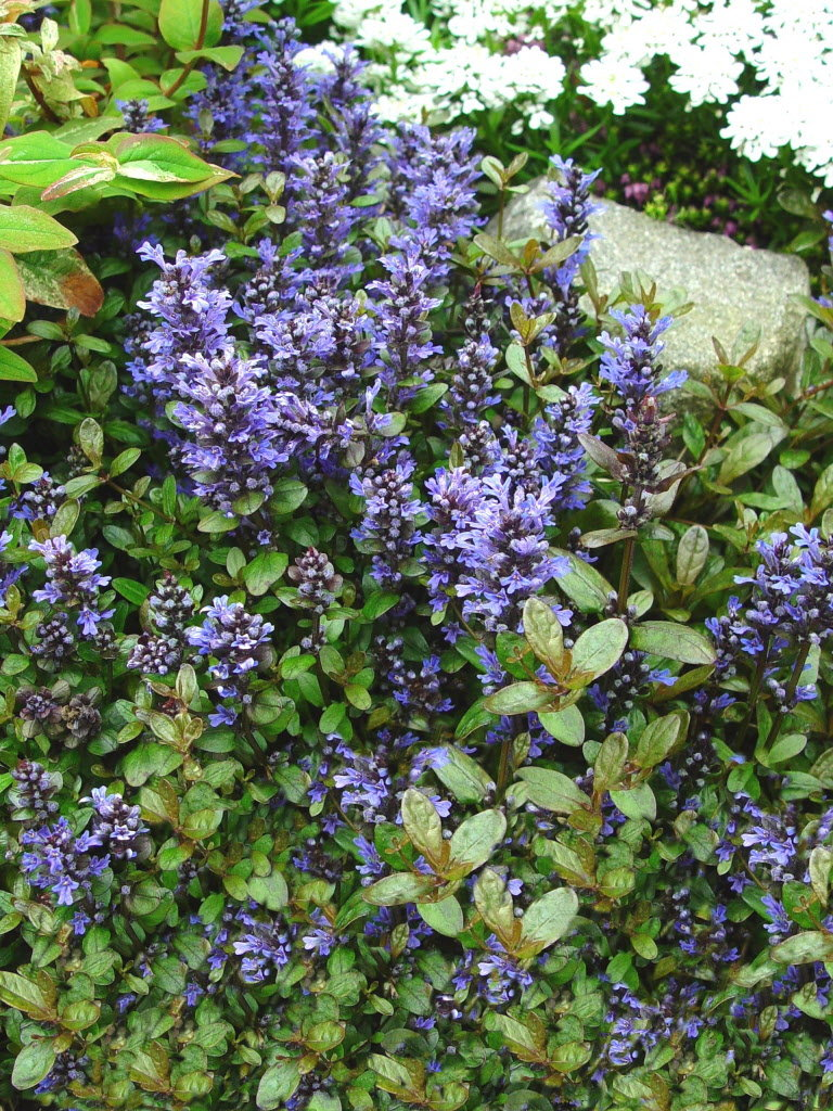 Ground covers provide popular lawn substitute whether solid surfaces or plants like Stepables