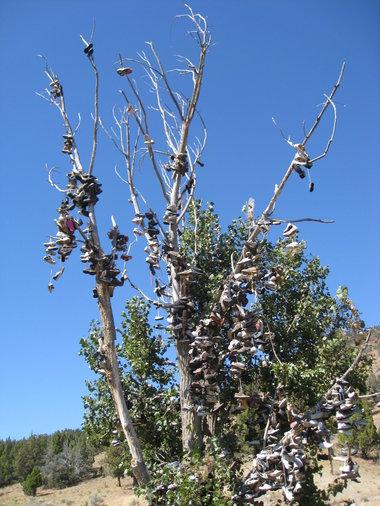 Shoe-Tree-near-Mitchell-Oregon.JPG